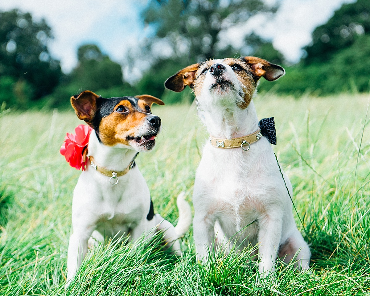 dog friendly wedding photographer two terrier dogs long grass