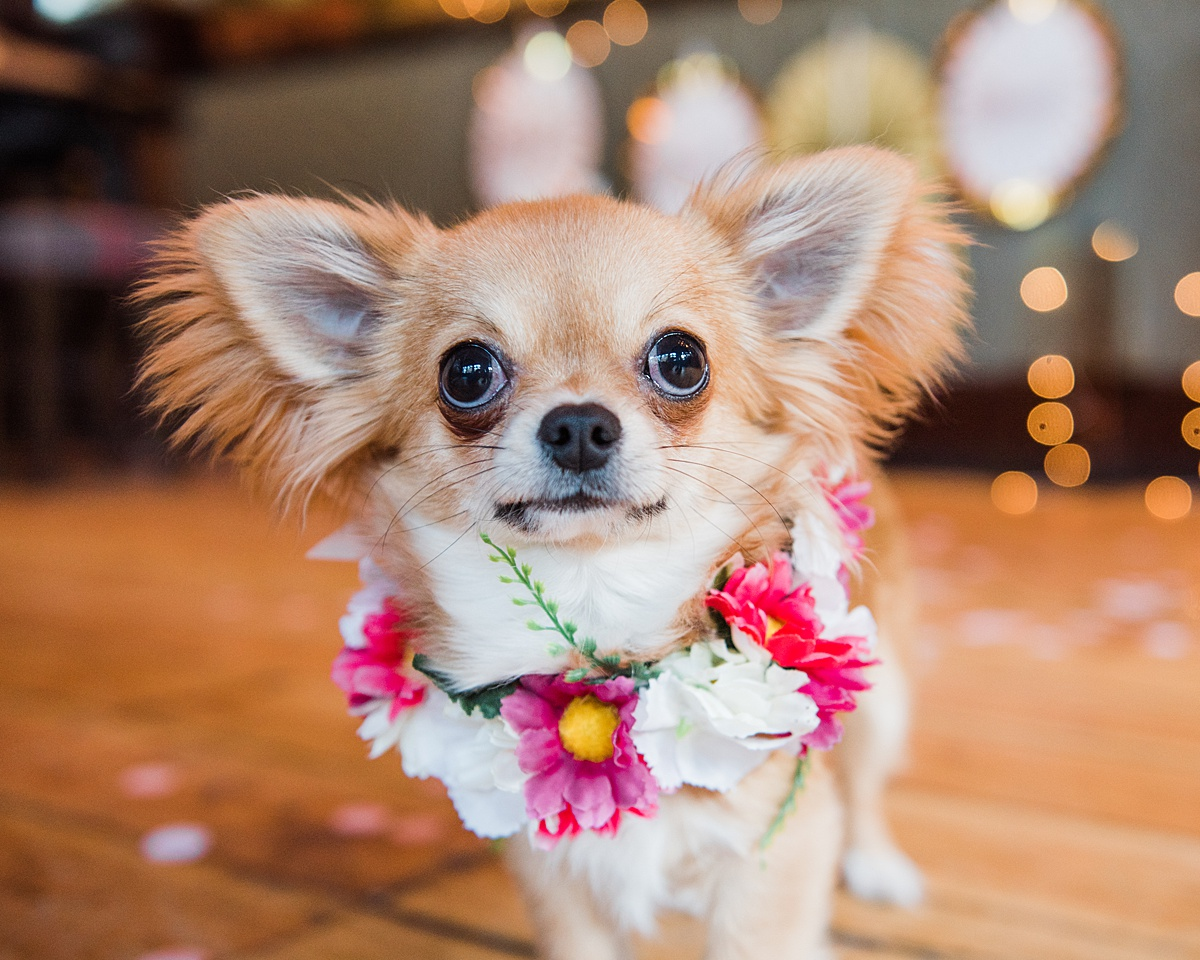 Bowie-silk-daisy-flower-collardog-wedding-style-parrot-and-pineapple