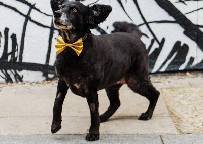 belinha-wearing-gold-bow-tie-dog-wedding-styple-parrot-and-pineapple-photography