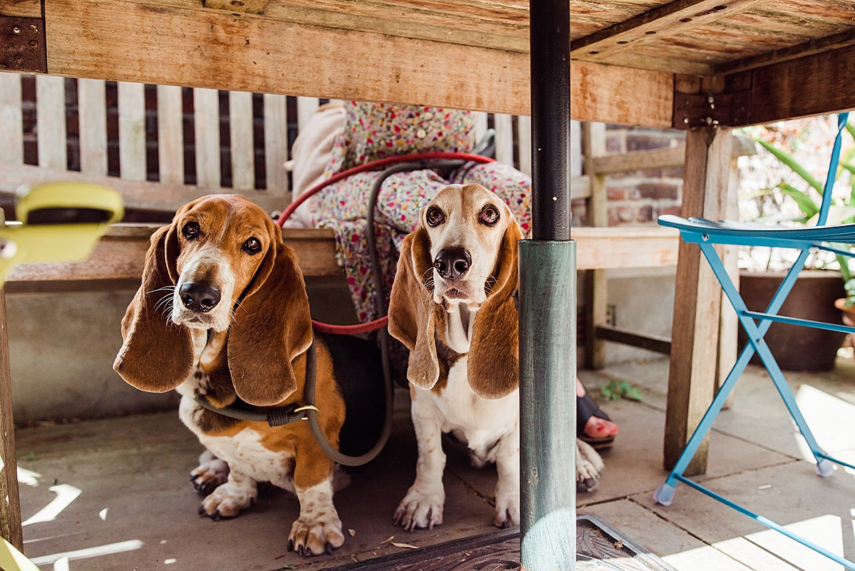 Two basset hounds sat underneath a table at a pub looking at the camera - photo taken by Parrot and Pineapple Wedding Photography