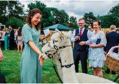 Alpacas-at-weddings-DIY-Home-Garden-Wedding-Parrot-and-Pineapple-Wedding-Photography