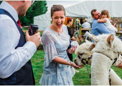 Feeding-the-Alpacas-DIY-Home-Garden-Wedding-Parrot-and-Pineapple-Wedding-Photography