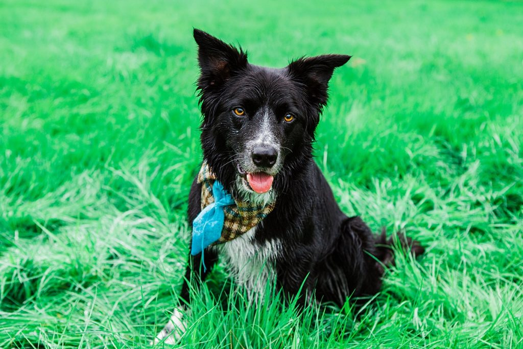 black collie wears dog tie bandanna at dog friendly wedding