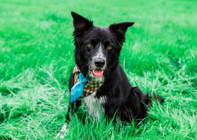 black collie wears dog tie bandanna at dog friendly wedding