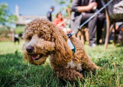 tan cockapoo pulls on lead at sunny wedding