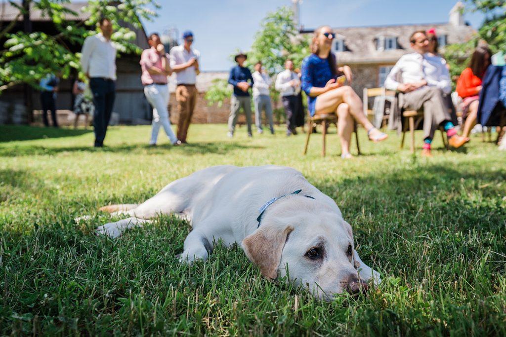 yellow labrador lies in shade at sunny wedding