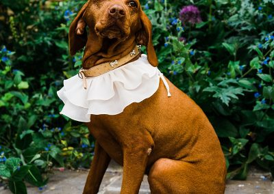 vizsla wears white ruffle sat in garden at dog friendly wedding venue cotswolds