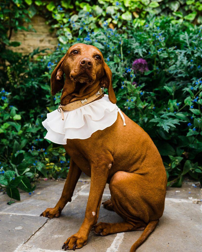 vizsla wears white ruffle sat in garden at dog friendly wedding venue cotswolds