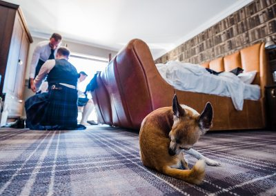 chihuahua grooms while men get ready for wedding
