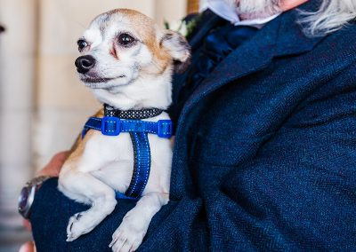 white chihuahua wears blue harness held in arms of wedding guest dog friendly wedding